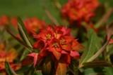 EuphorbiaFireGlow.jpg