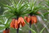 FritillariaImperial.jpg