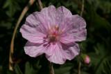 GeraniumEndressii.jpg