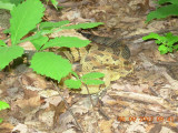 Timber Rattlesnake almost stepped on by member Stacy Christensen! 06-09-2007_002.jpg