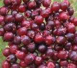 lunch share shadbush berries.jpg