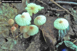 Marasmius siccus_ 01 PK.jpg