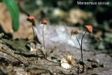 Marasmius siccus_ PK_ 02.jpg