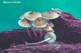 Mycena inclinata_ 01 PK.jpg