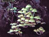 Mycena inclinata_ 03 PK.jpg