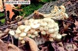 Mycena inclinata_ 204 PK.jpg