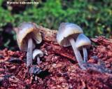 Mycena subcaerulea_ 02 PK.jpg