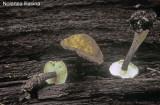 Nolanea lilacina_ PK_ 02.jpg