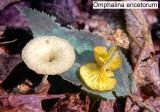 Omphalina ericetorom_ 201 PK.jpg