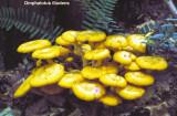 Omphalotus illudens_ 05 PK.jpg
