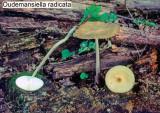 Oudemansiella radicata_ 206 PK.jpg
