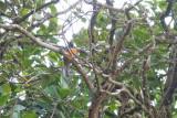 Orange-bellied Trogon