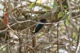 Lance-tailed Manakin