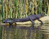 Gator+turtle