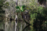 Tarzan Tree