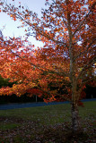 Tinbeerwah Maples