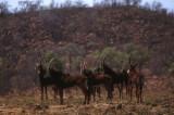 Sable Antelope, Pilanesberg