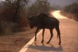 Wildebeest at PIlanesberg