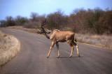 Greater Kudu at Kruger