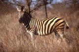 Zebra at Kruger
