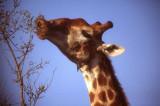 Giraffe close up at Kruger