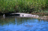 Estuarine Crocodile Entering Water, Kakadu