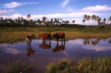 Cows in floodwaters, Sigatoka
