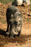 Warthog at Pilanesberg