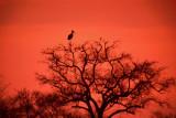 Stork in a Tree, Kruger