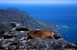 Rock Dassie on Table Mountain