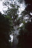 Kauri Tree, Northland