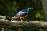 Eastern Golden-Breasted Starling