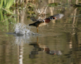 Wood Duck takes flight