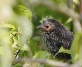 Baby Red Wing Blackbird