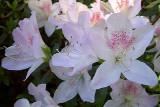 'Indicum roseum'