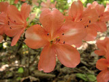 'Sakura-kagami'