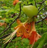 leaf gall