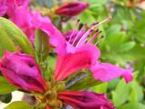 'Girard's Fuchsia'