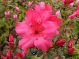 'Girard's Rose'...
