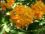 calendulaceum double
