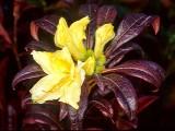 'Lemon Lights' fall bloom