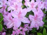 Lilacinum