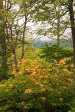 azalea and mountains M Opp.jpg