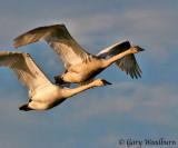 Birds Trumpeter Swans
