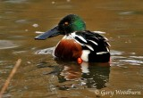 Birds Northern Shoveler