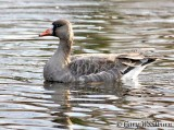 Birds Greater White-fronted goose