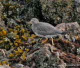 Birds Surfbird