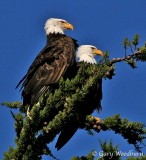 Bald Eagles Part 3