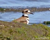 Birds Killdeer