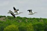 _APR3314 American white pelicans